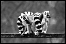 Couple de Lémuriens