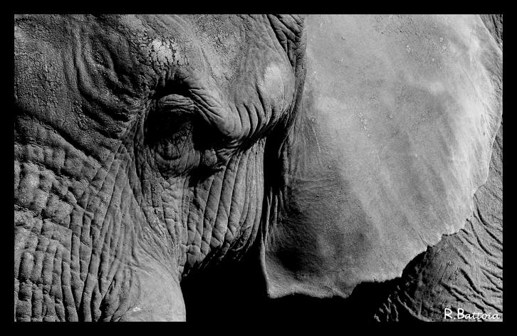 Elephant1 n&b