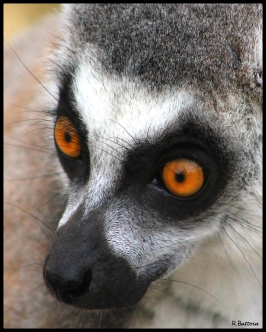 Lémurien