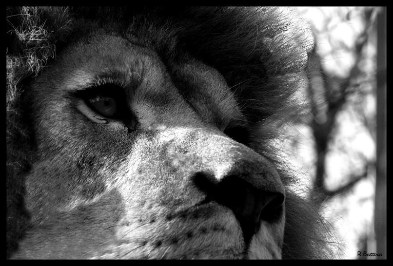 Lion 1 n&b