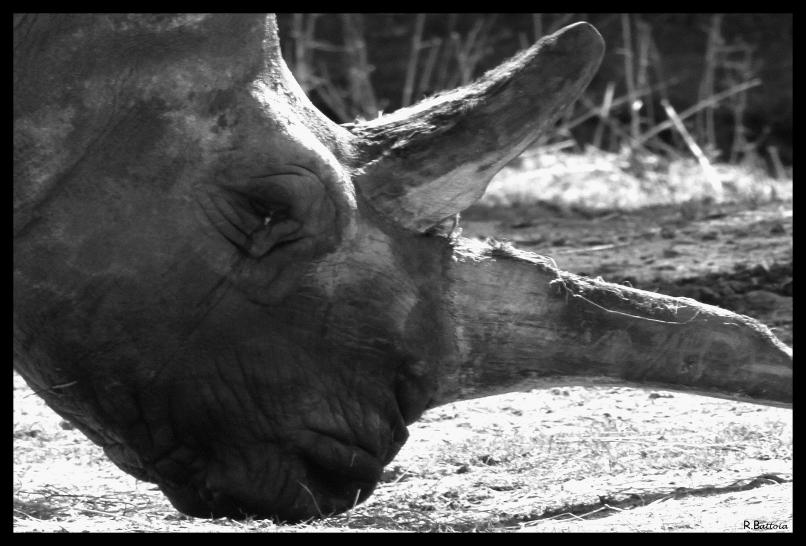 Rhinocéros 1 n&b